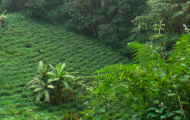 Tea cultivation near the rainforest