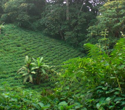 Tea cultivation near the rainforest